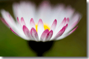 daisy glow