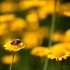 Bee-Gold