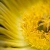 Golden Hottentot