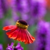 Helenium Beauty