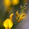 Yellow-Broom