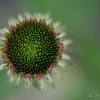 Young Echinacea