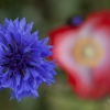 Cornflower with Poppy