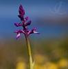 Early Purple