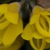 gorse-flowers
