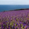 Purple Field sea view