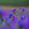 Purple Viper's Bugloss Field