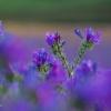 Purple Viper's Bugloss Field