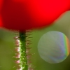 Red as a Poppy