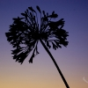 scilly-agapanthus
