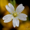Stitchwort on Gorse