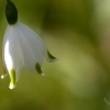 whitebell