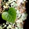 Ivy Heart