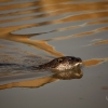 Swimming Otter