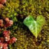 ivy-heart