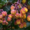 Bejewelled Barberry