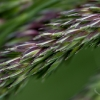 flowering-grass