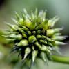 Green Burr