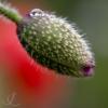 poppy-bud