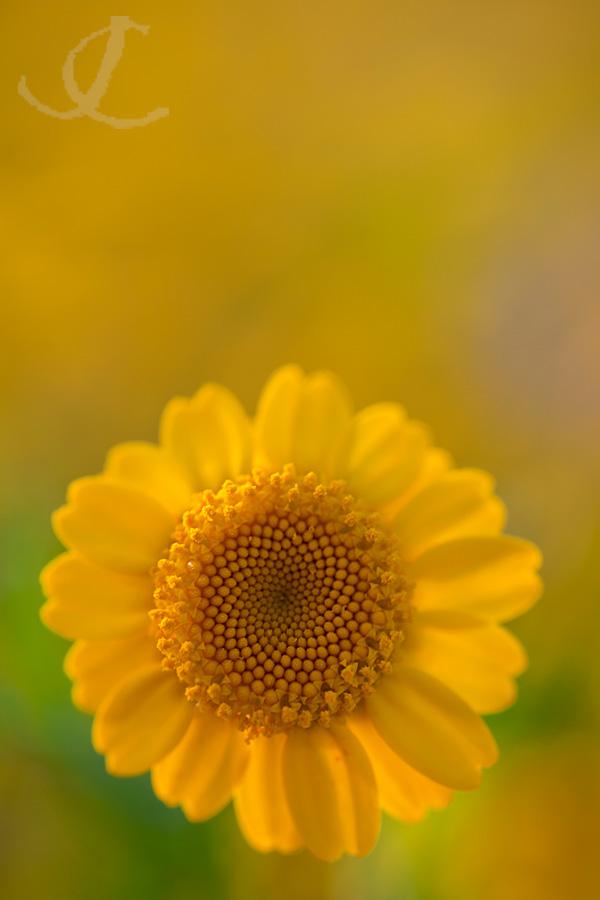 corn-marigold-field