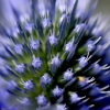 blue-thistle-bug