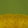 dandelion-curls_0