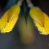 Gorse Abstract