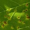 leaf-galls