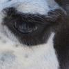 llama-eye
