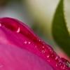 pink-drops