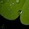 sorrel-drop