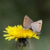 Two Small Coppers