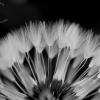 dandelion-fan-bw