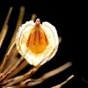 hogweed-lantern